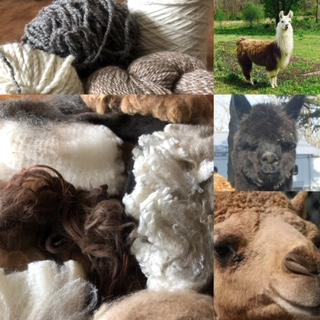 Colorful Camelids!