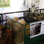 Sheep Breed Exhibit