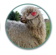 CAGBA NATIONAL Colored Angora Goat Show (archived)
